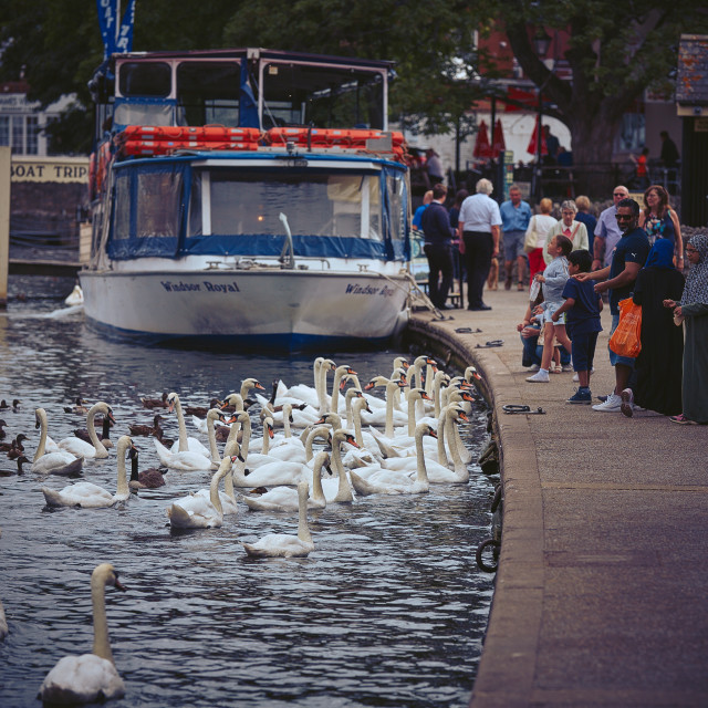 """Feeding the ducks and swans"" stock image"