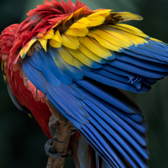 """""""A scarlet macaw in Copan Honduras Central America"""" stock image"""
