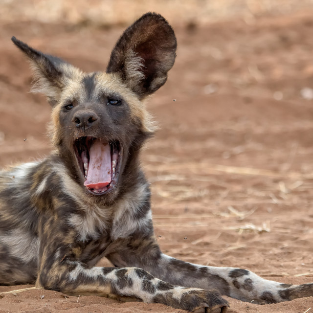 """a wild dog in Kruger National Park South Africa"" stock image"