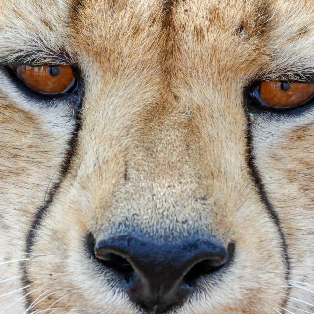"""Cheetah in Etosha national Park in Namibia"" stock image"