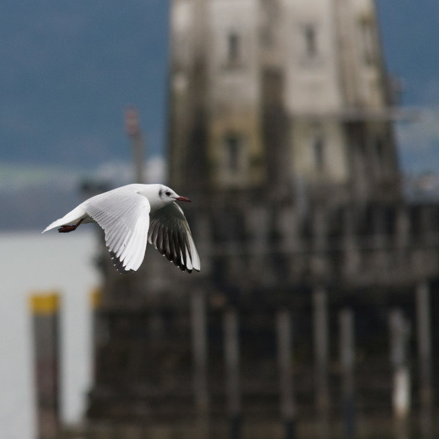 """close up on flying seagull in the harbor"" stock image"