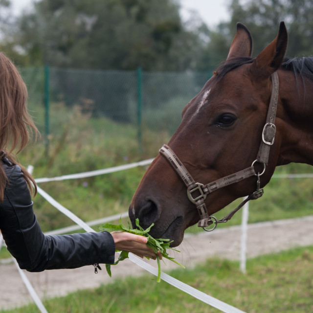 """Woman give a tree to eat for the horse"" stock image"