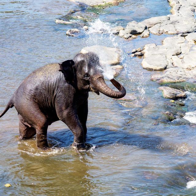 """""""Bathing Elephant"""" stock image"""