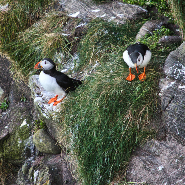 """""""Puffins"""" stock image"""