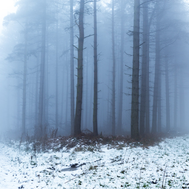 """Pine forest woodland in Winter"" stock image"