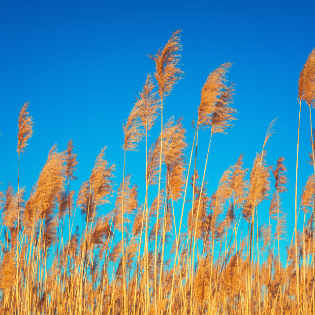 """""""Golden Reeds against sun and blue sky. Reeds near the lake. Back"""" stock image"""
