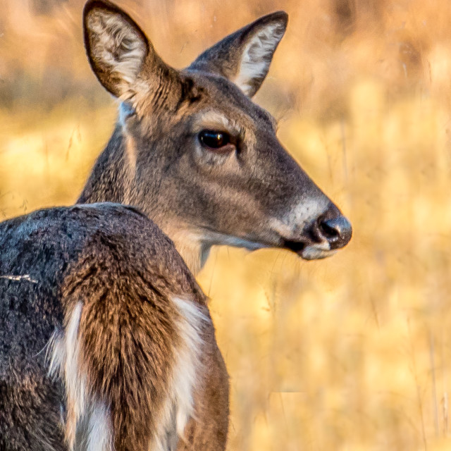 """Whitetail Deer"" stock image"