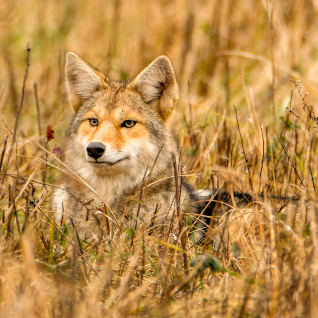 """Coyote with penetrating yellow eyes"" stock image"