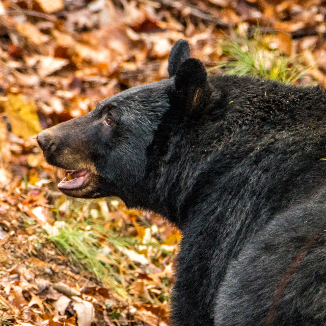 """Closeup of a Black Bear"" stock image"