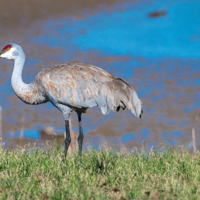 """Solitary Sandhill Crane"" stock image"