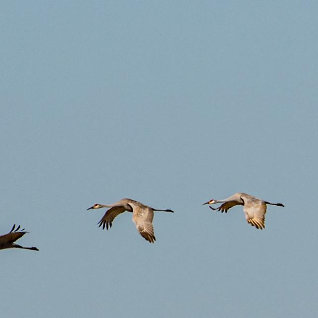 """""""Four Sandhill Cranes in flight"""" stock image"""