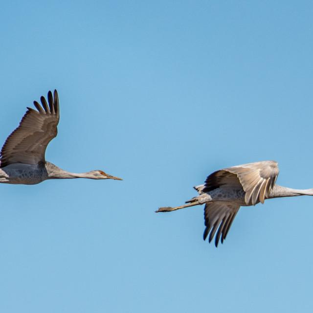 """""""Pair of Sandhill Cranes"""" stock image"""