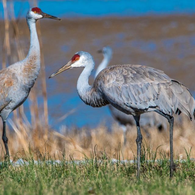 """Pair of Feeding Sandhill Cranes"" stock image"