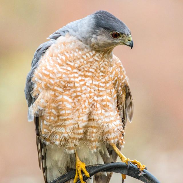 """Cooper's Hawk"" stock image"