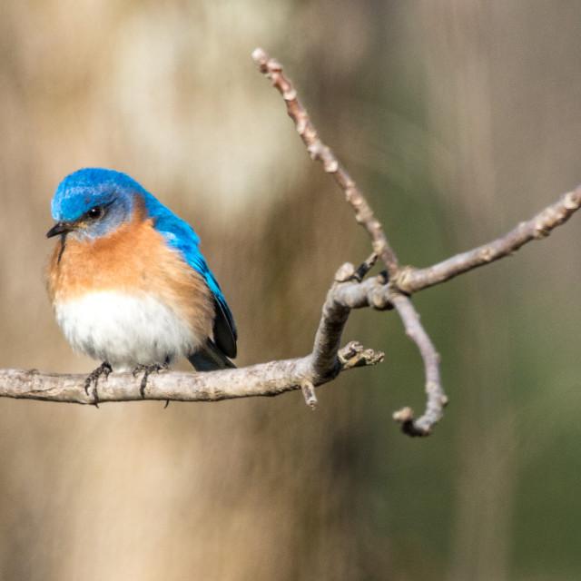 """Bluebird on twig"" stock image"