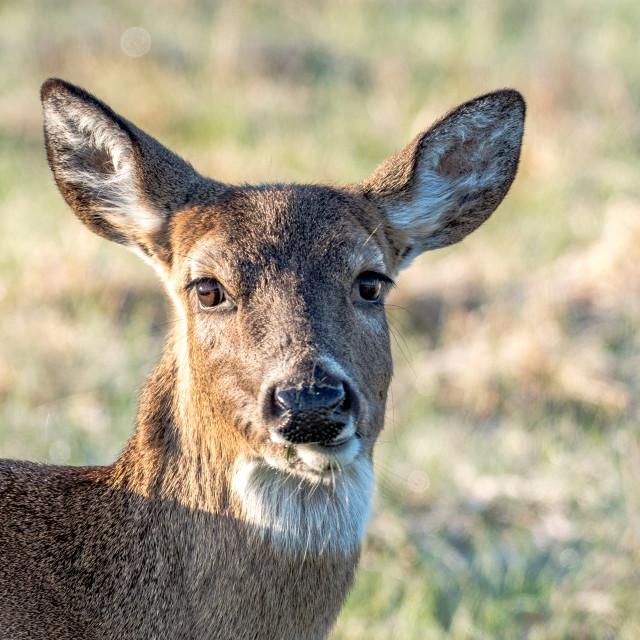 """Female Whitetail Deer"" stock image"