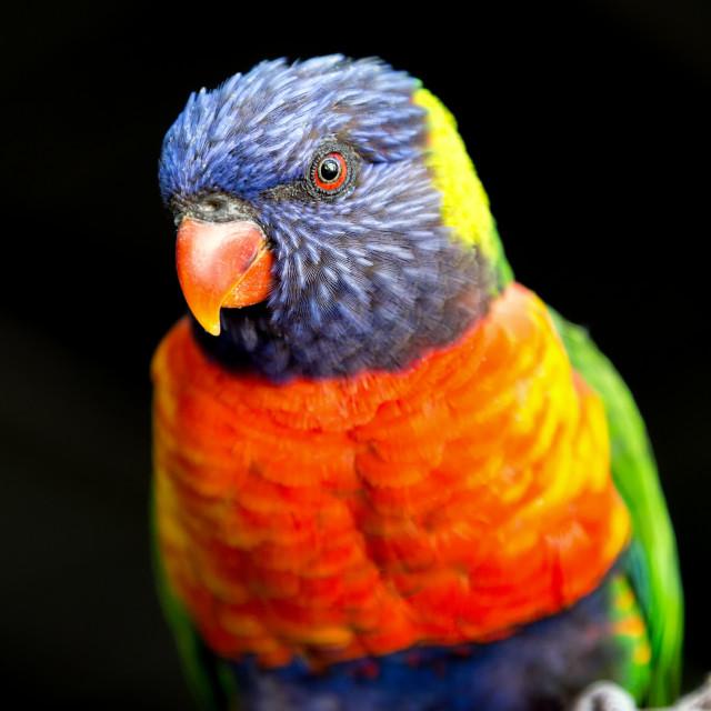 """""""Rainbow Lorikeet Portrait"""" stock image"""