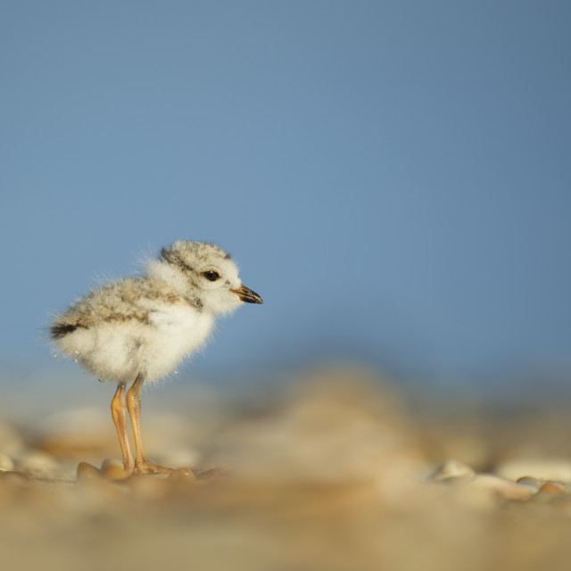 """""""Piping Plover Chick Portrait"""" stock image"""