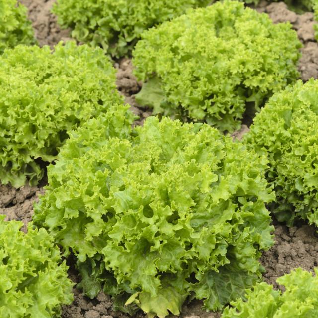 """Loose-leaf lettuce (Lactuca sativa var. crispa 'Lollo Bionda Aleppo')"" stock image"