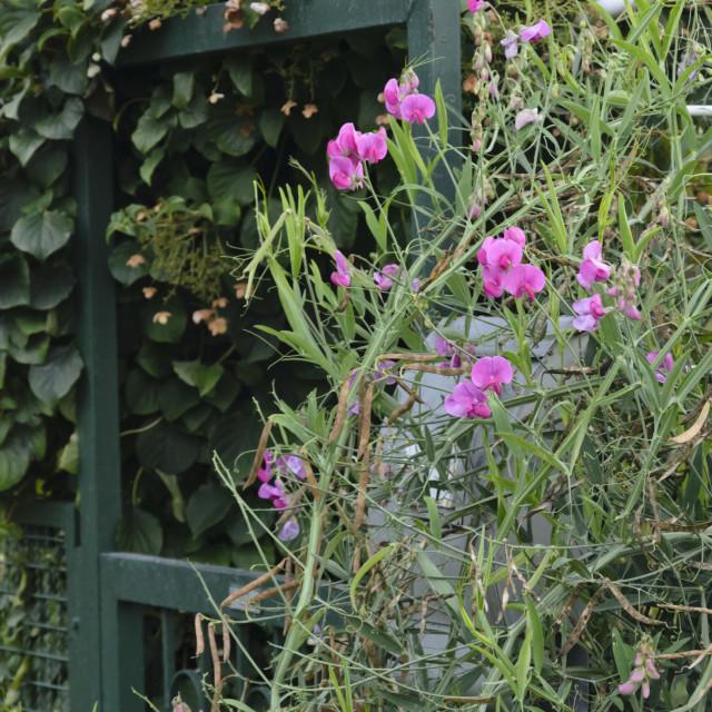 """""""Everlasting pea (Lathyrus latifolius) at a garden gate"""" stock image"""