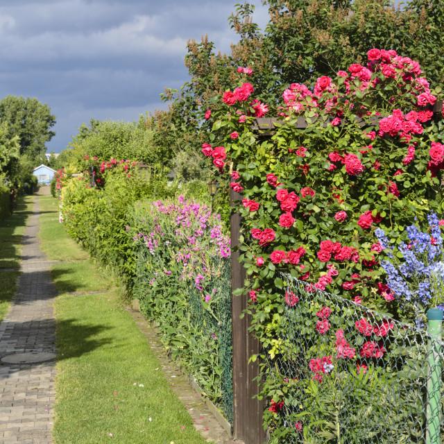 """""""Sweet pea (Lathyrus odoratus), rose (Rosa) and larkspur (Delphinium) in an..."""" stock image"""