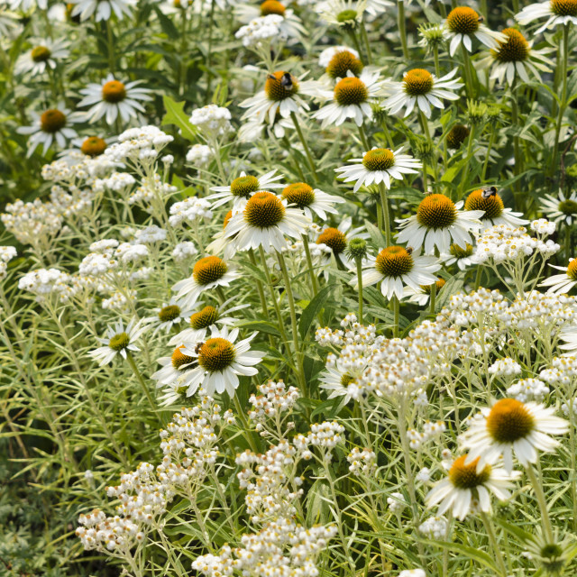 """""""Triple-veined pearly everlasting (Anaphalis triplinervis 'Sommerschnee') and..."""" stock image"""