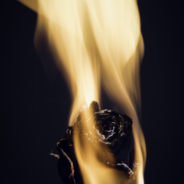 """Rose on fire"" stock image"