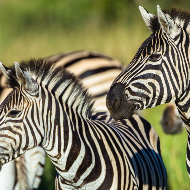 """Zebras Wildlife Closeup"" stock image"