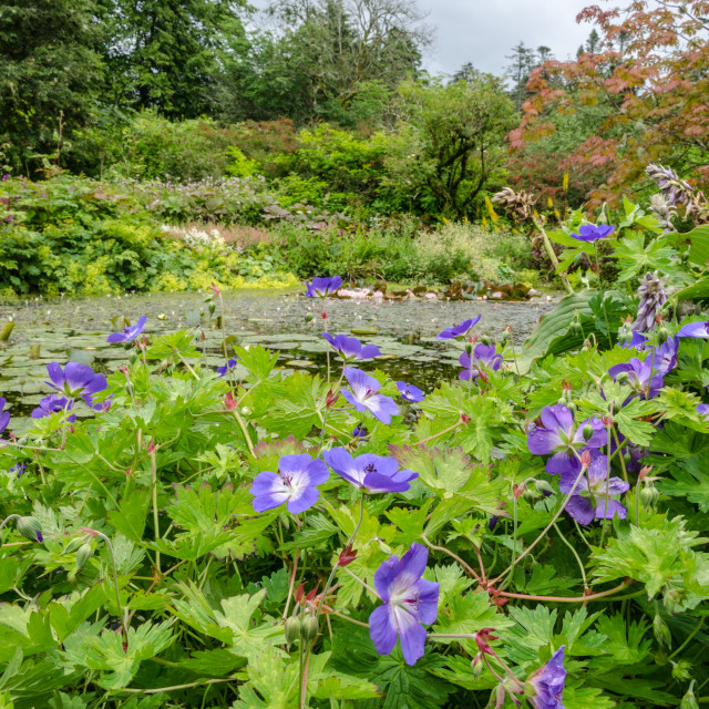 """""""Lily Pond, Blue flowers foreground"""" stock image"""