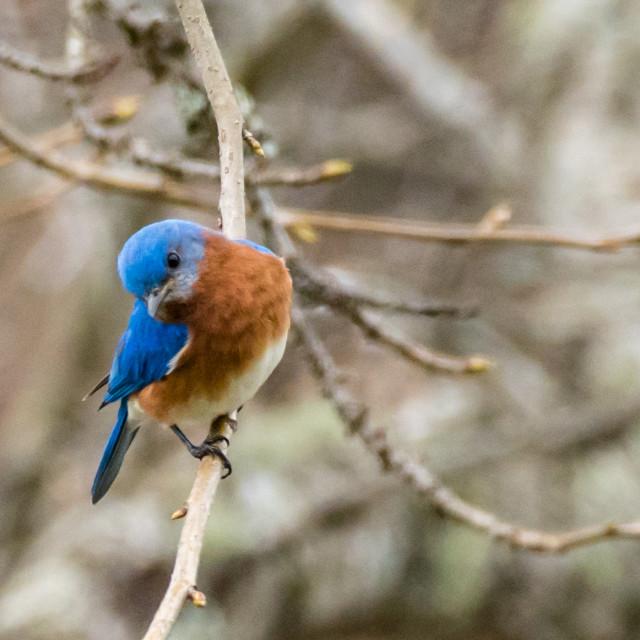 """Eastern Bluebird on Twig"" stock image"
