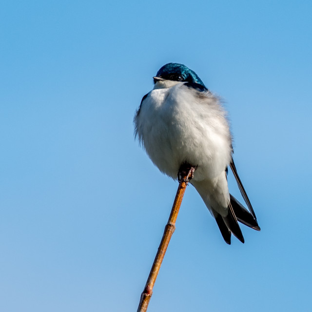 """""""Tree Swallow Isolated Against Blue Sky"""" stock image"""