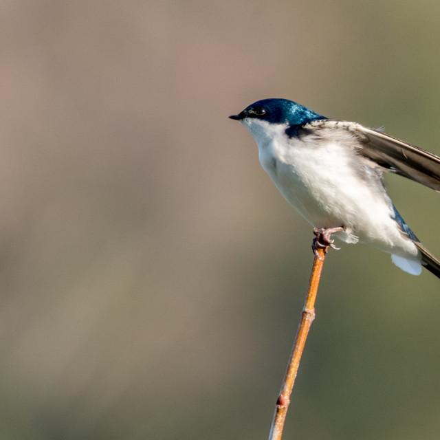 """Tree Swallow on Twig"" stock image"