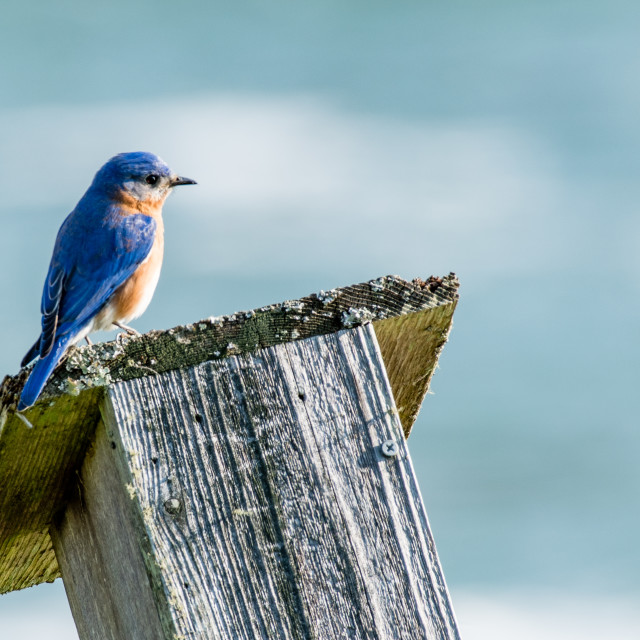 """Eastern Bluebird on birdhouse"" stock image"