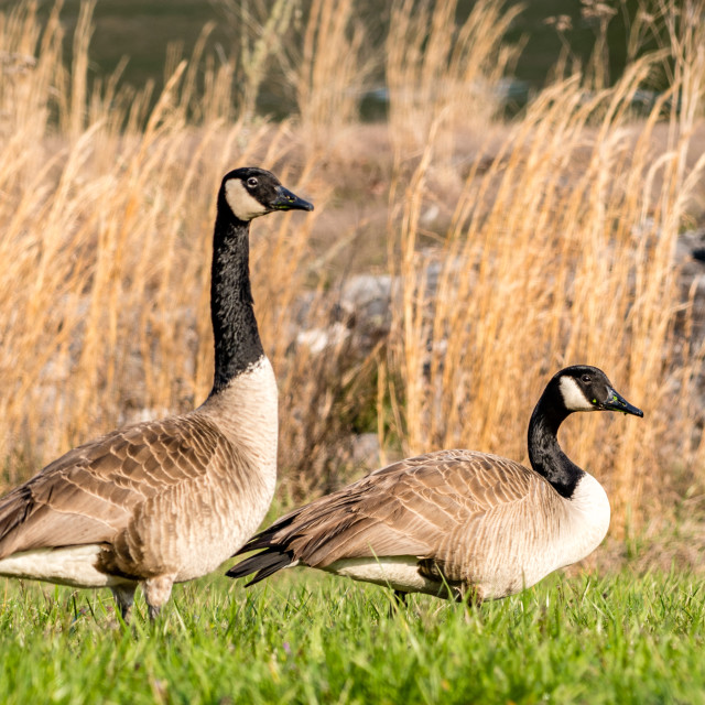 """""""Pair of Canada Geese"""" stock image"""