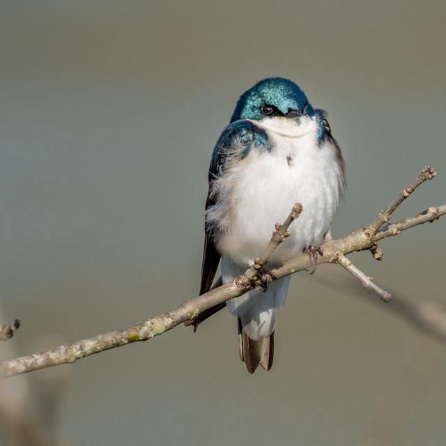 """""""Tree Swallow blurred background"""" stock image"""