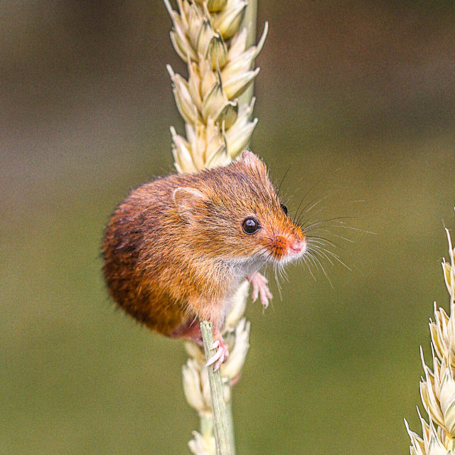 """Wheat mouse"" stock image"