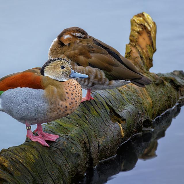 """Ducks On A Log"" stock image"