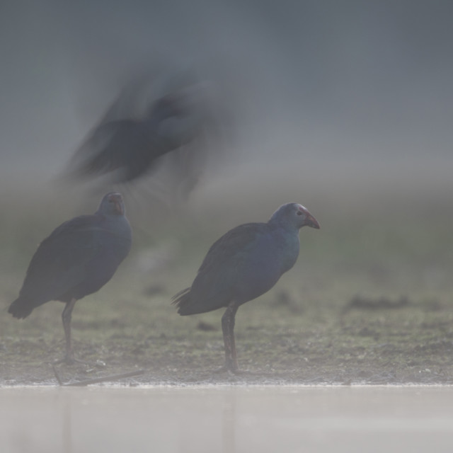 """Grey headed swamphen in Misty morning"" stock image"
