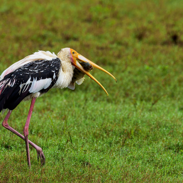 """""""Stork with fish"""" stock image"""