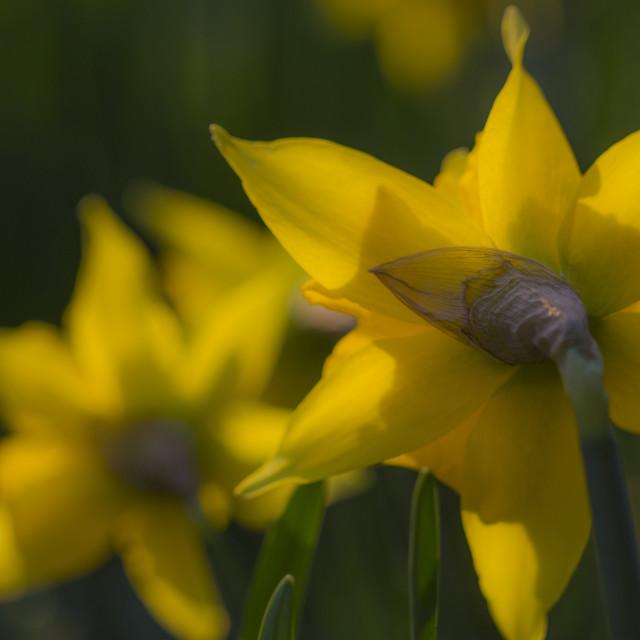 """Spring Daffodil"" stock image"