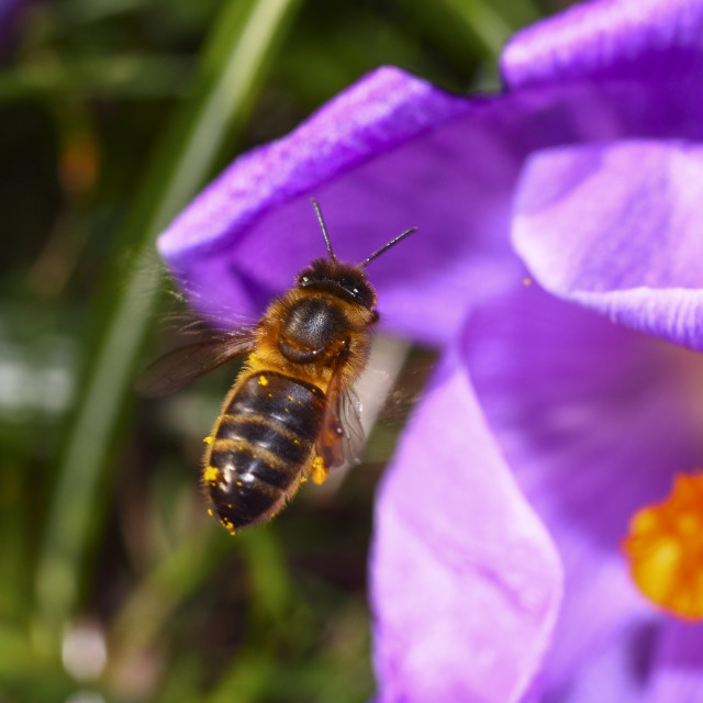 """""""Honeybee pollinating crocus flowers on a warm march day"""" stock image"""