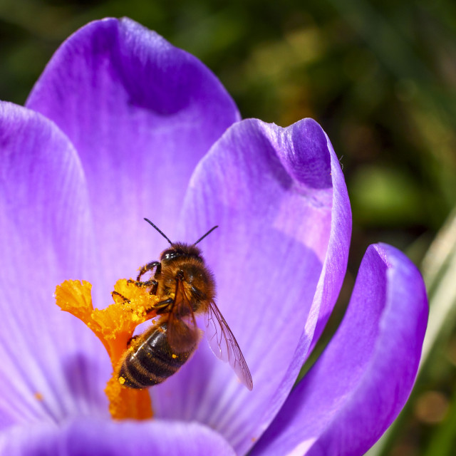 """""""Close up of a honybee pollinating a crocus flower on a warm spring day"""" stock image"""
