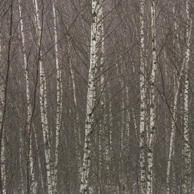 """silver birch 2"" stock image"