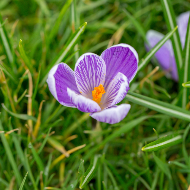 """Blooming Striped Pickwick Crocus flowers"" stock image"