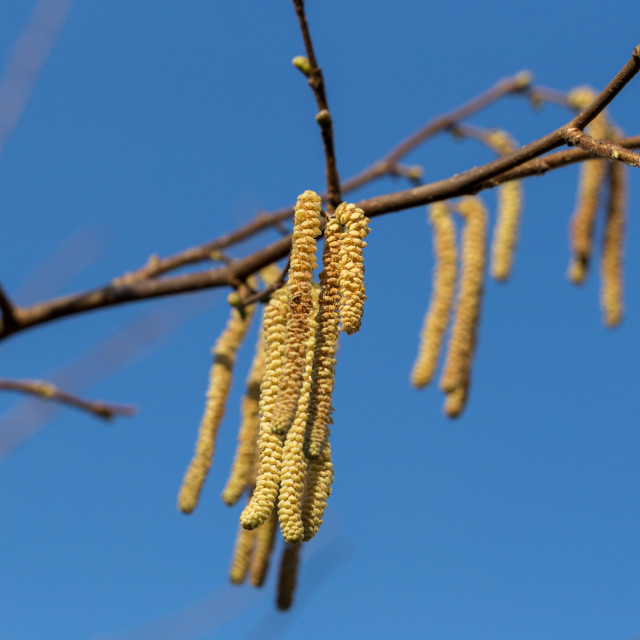 """The long feathery male catkins against a clear blue sky"" stock image"
