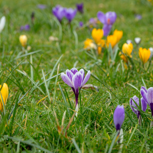 """A variety of blooming spring Crocus flowers"" stock image"