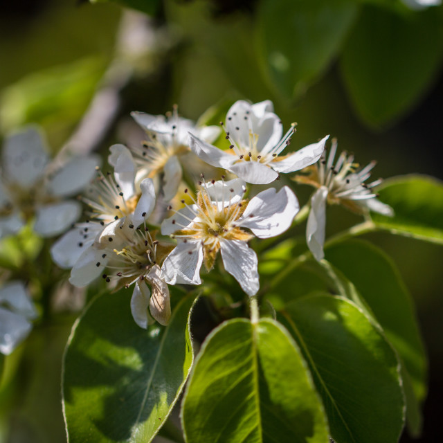 """Pear Blossoms"" stock image"