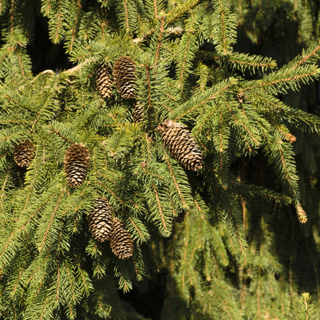 """Common spruce (Picea abies 'Acrocona')"" stock image"