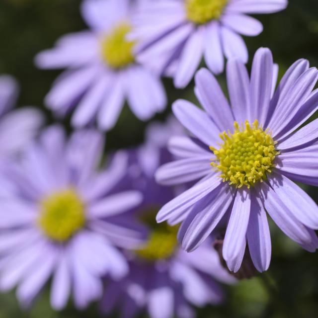 """Cut-leaved daisy (Brachyscome multifida 'Brasco Violet')"" stock image"