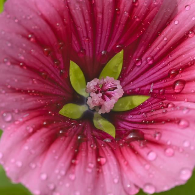 """Mistery flower (Malope trifida)"" stock image"